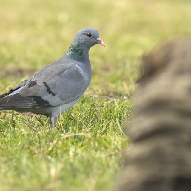 """""""Feral pigeon Columba livia domestica perched on a green meadow"""" stock image"""