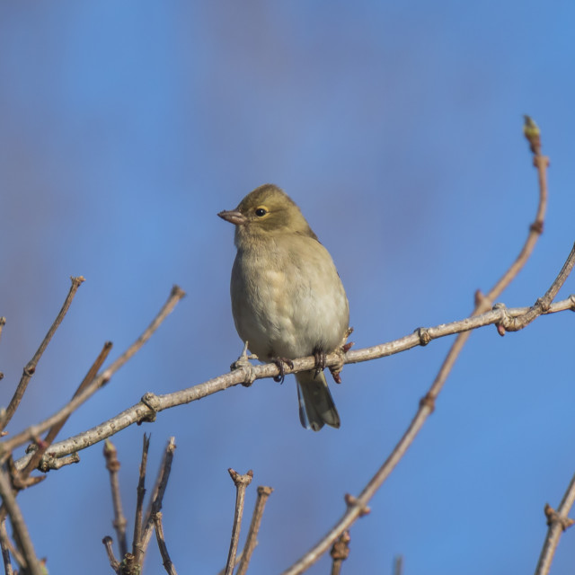 """""""Female chaffinch, Fringilla coelebs, perched in a tree"""" stock image"""