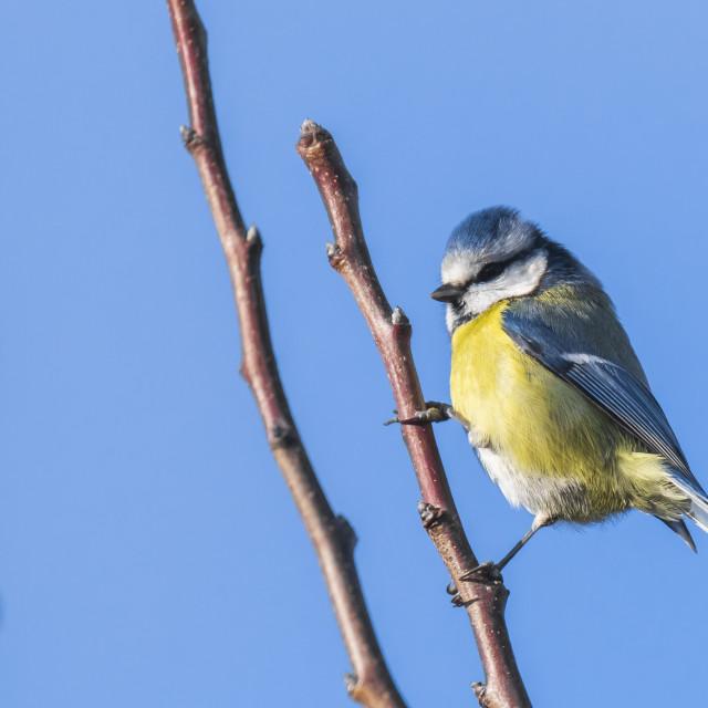 """Eurasian blue tit bird Cyanistes caeruleus on a clear blue sky background"" stock image"