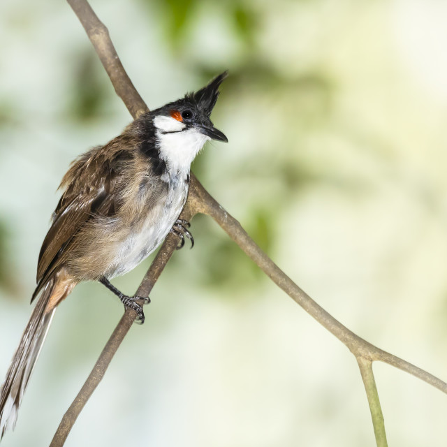 """""""Red-whiskered or crested bulbul, Pycnonotus jocosus, tropical bird"""" stock image"""