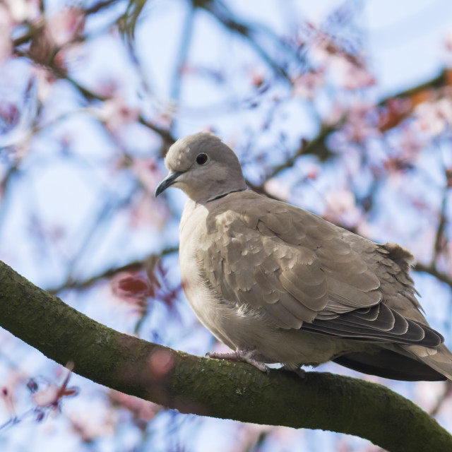 """""""Eurasian collared dove Streptopelia decaocto nesting in a tree"""" stock image"""
