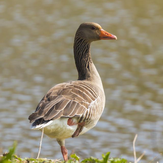 """""""Greylag goose Anser Anser"""" stock image"""