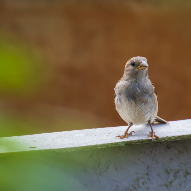 """""""House Sparrow bird (passer domesticus) foraging in a hedge"""" stock image"""
