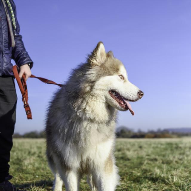 """Malamute Husky Dog with Dog Walker."" stock image"