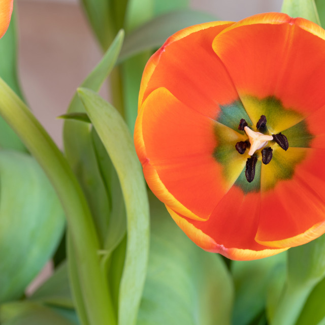 """""""Tulip Flower. Head. Nature. Spring. Red"""" stock image"""