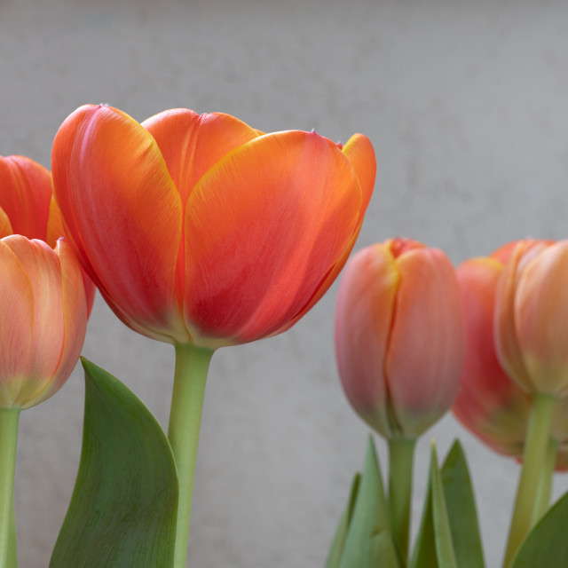 """""""Tulip Flower. Head. Spring. Nature. Red"""" stock image"""