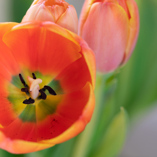"""""""Tulip Flower Head. Nature. Spring. Red"""" stock image"""