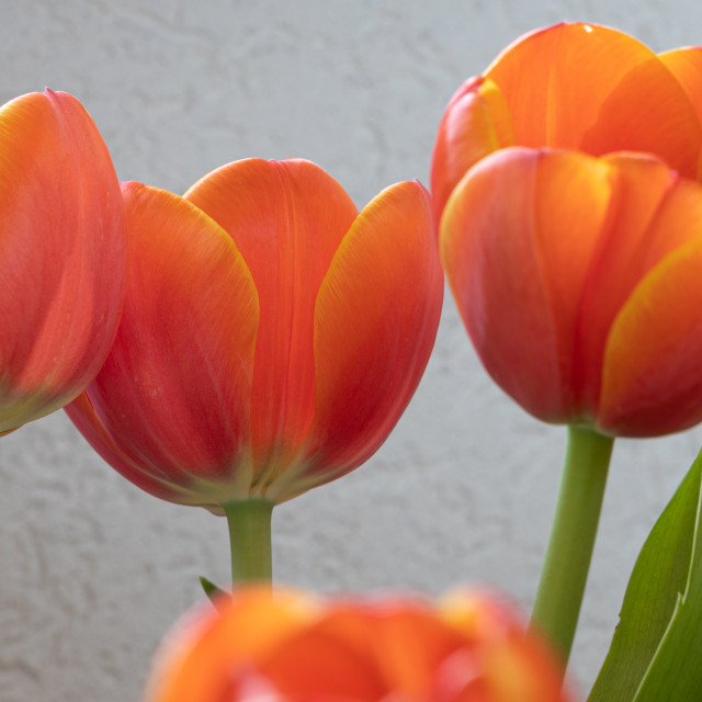 """""""Tulip Flowers. Head. Nature. Spring. Red"""" stock image"""