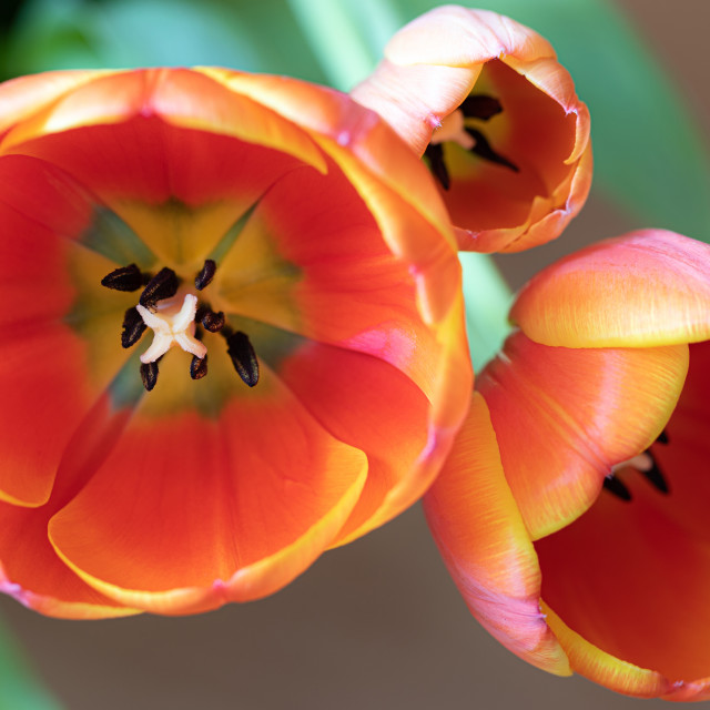 """""""Tulip. Flower. Nature. Spring. Head. Red"""" stock image"""