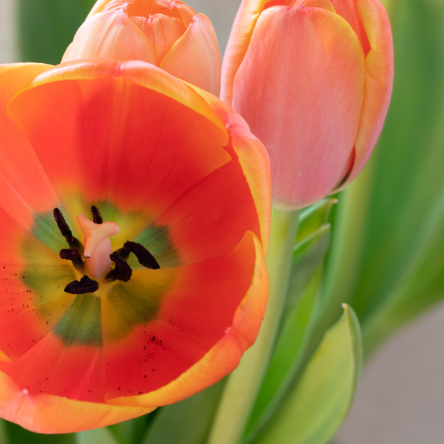 """""""Tulip. Flower. Nature. Head. Spring. Red"""" stock image"""