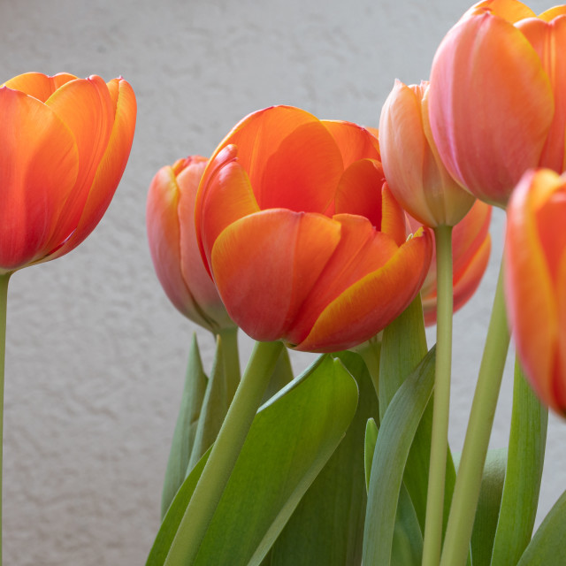 """""""Tulip. Flowers. Head. Nature. Spring. Red"""" stock image"""