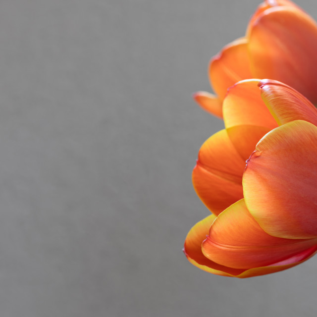 """""""Tulip. Flowers Head. Nature. Spring. Red"""" stock image"""