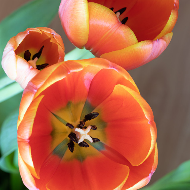 """""""Tulip. Nature. Flower. Head. Spring. Red"""" stock image"""