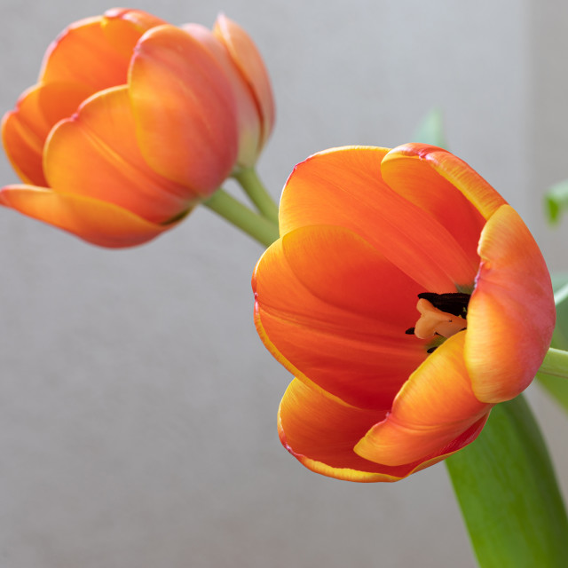 """""""Tulip. Nature. Flowers. Head. Spring. Red"""" stock image"""