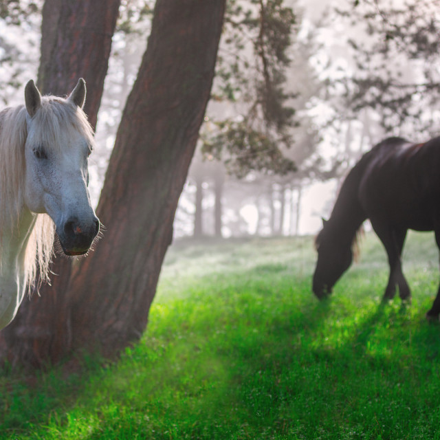 """Horses in a forest at misty sunrise."" stock image"