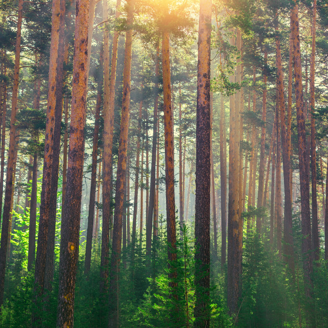 """Tree in forest with sunlight. The sun rays through branches of t"" stock image"