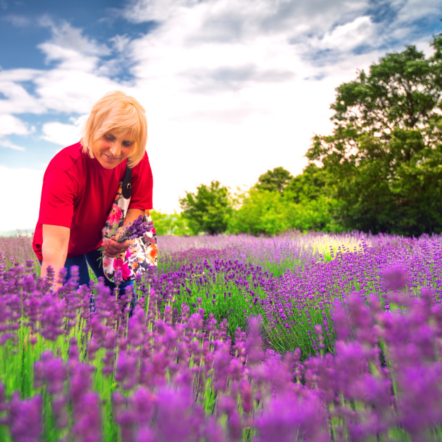 """Lavender flower in the field"" stock image"