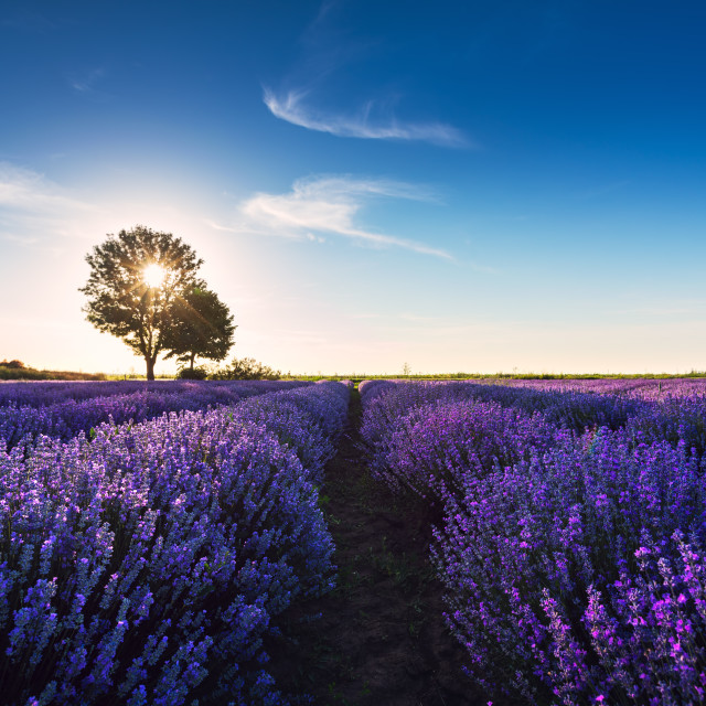 """Tree in a lavender flower in the field."" stock image"