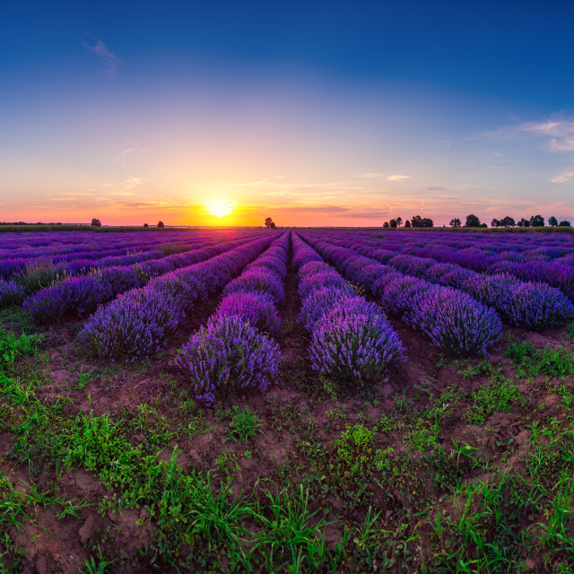 """Lavender flower in the field panoramic view"" stock image"