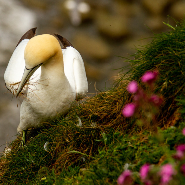 """Seabird, Gannet collecting nesting material"" stock image"
