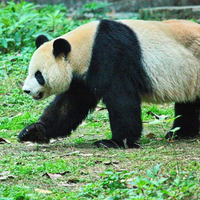 """Panda"" stock image"