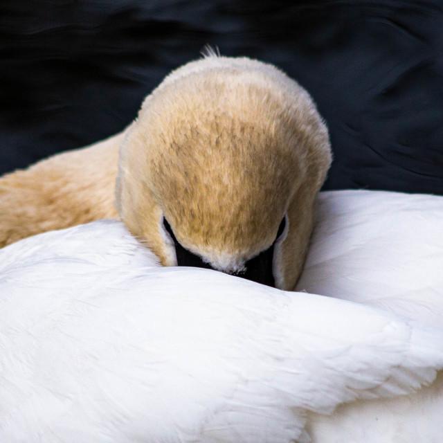 """White Swan Taking a Nap"" stock image"