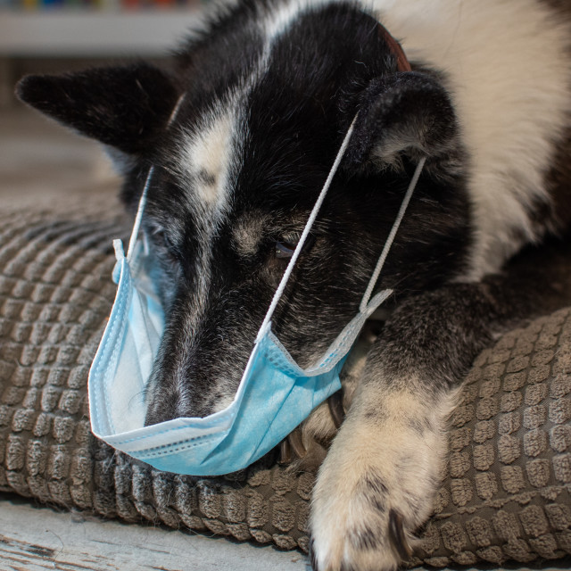 """Dog with face mask"" stock image"