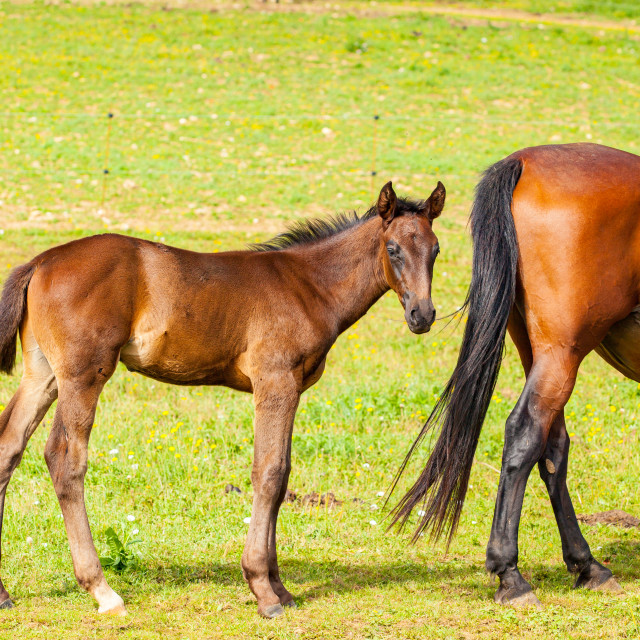 """bay foal who is with his mother in the summer in a meadow"" stock image"