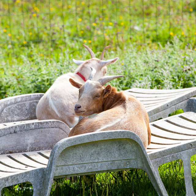 """male and female goats lounging on lounge chairs in summer"" stock image"