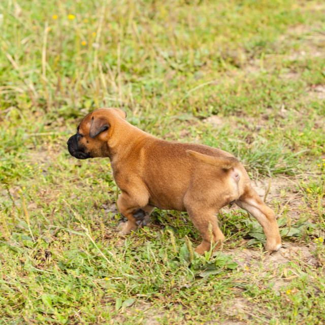 """cute bastard malinois puppy and bullmastiff playing in the grass in summer"" stock image"