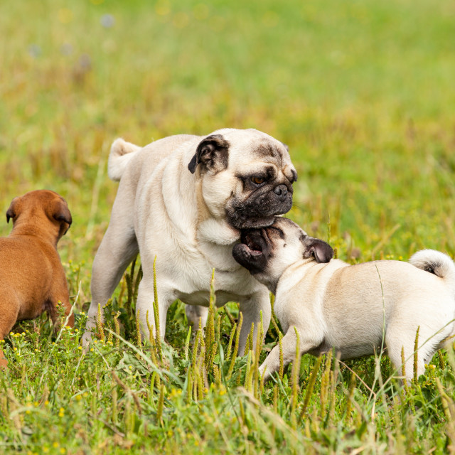 """cute bastard malinois puppy and bullmastiff playing with pug puppy"" stock image"