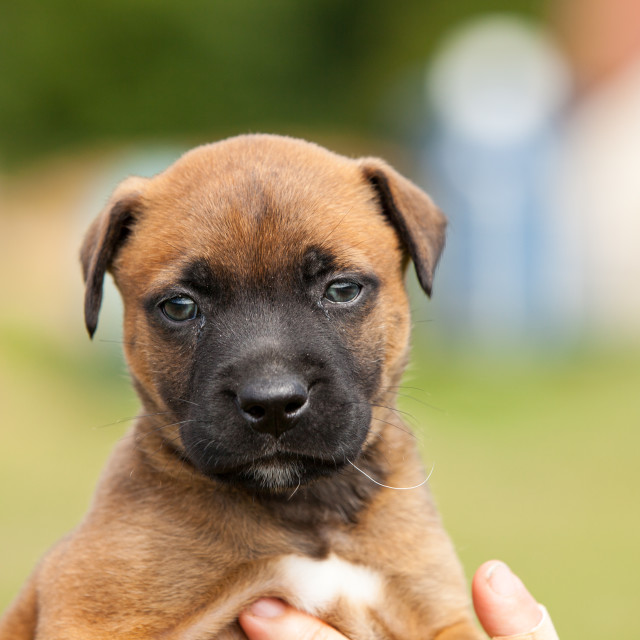 """adorable puppy bastard of malinois and bullmastiff in the hands of his mistress"" stock image"