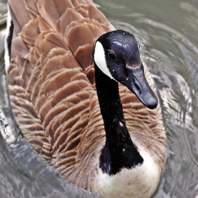 """Canada Goose Up Close"" stock image"