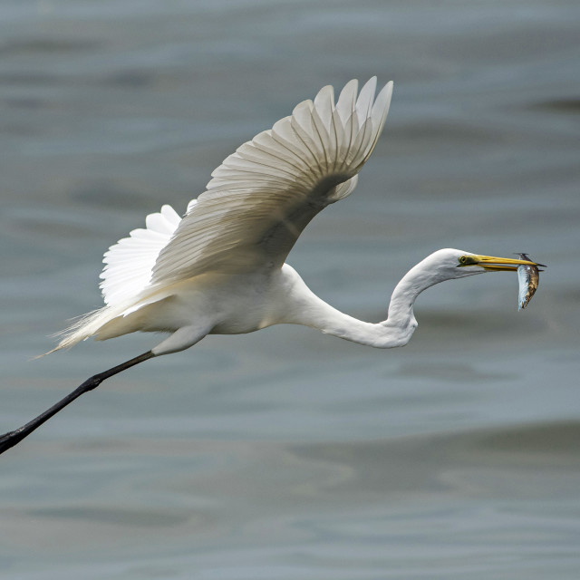 """Great White Egret (Ardea alba) (IV)"" stock image"