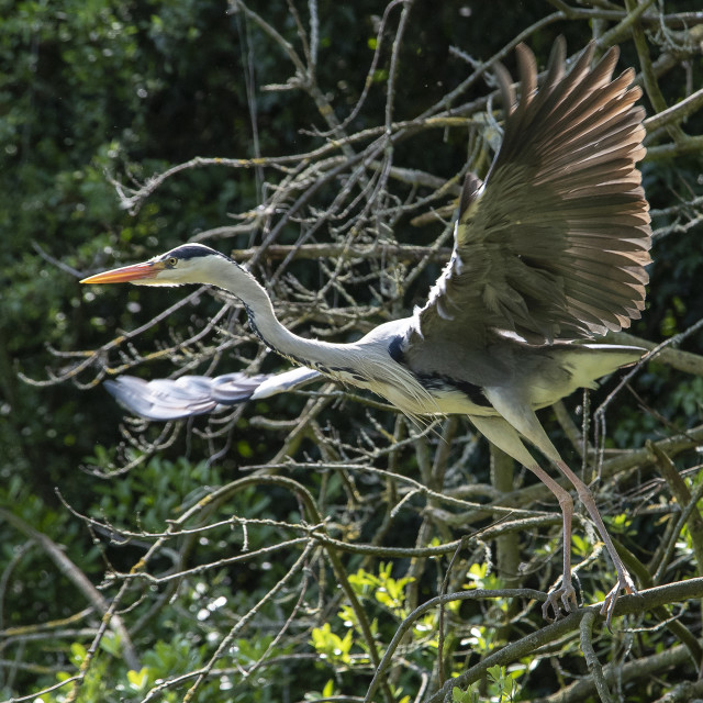 """Grey Heron Take Off"" stock image"