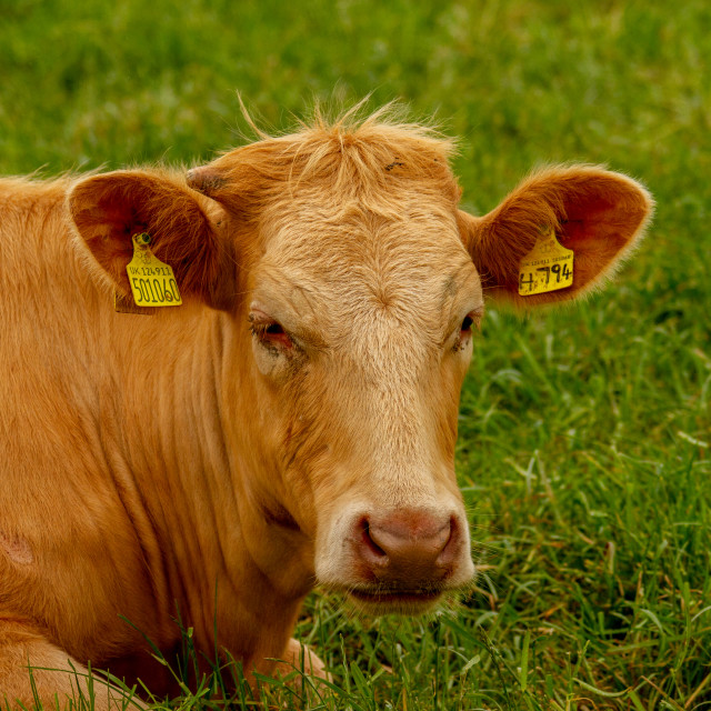 """""""Limousine Cow Reclining in Yorkshire East Coast Meadow."""" stock image"""