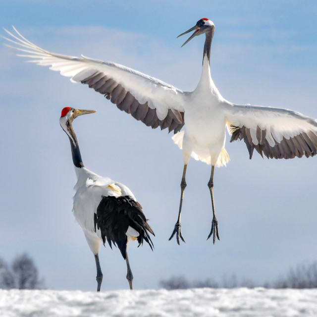 """""""Red Crowned Cranes Dance 01"""" stock image"""
