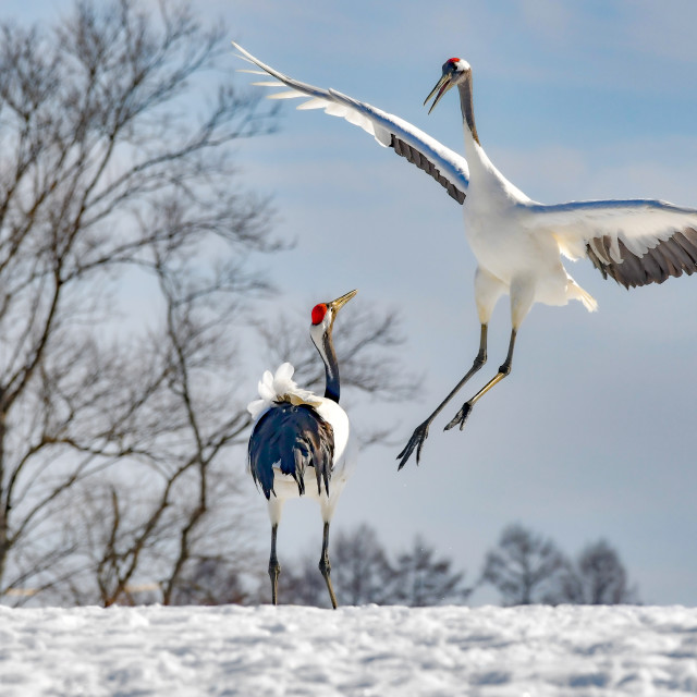 """""""Red Crowned Cranes Dance 03"""" stock image"""