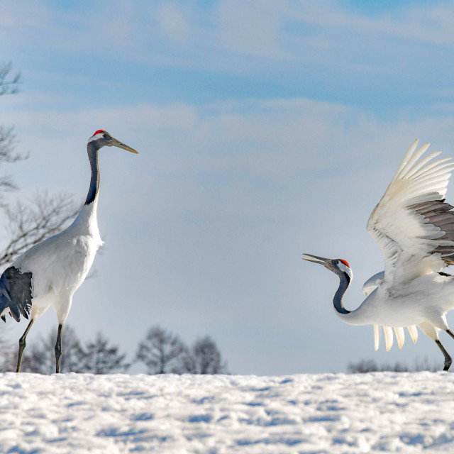 """""""Red Crowned Cranes Dance 02"""" stock image"""