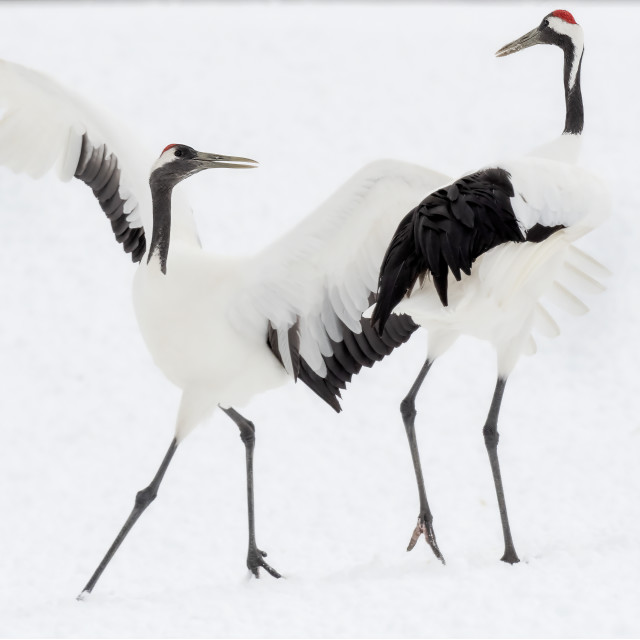 """""""Red Crowned Cranes Dance 06"""" stock image"""