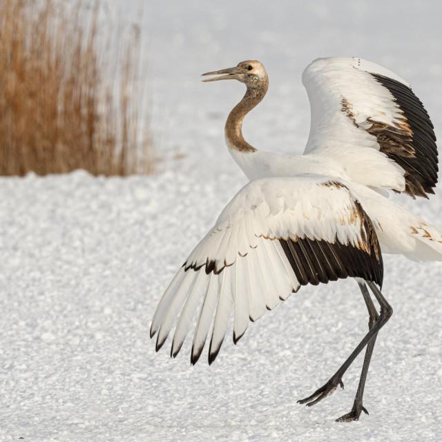 """Juvenile Crane"" stock image"