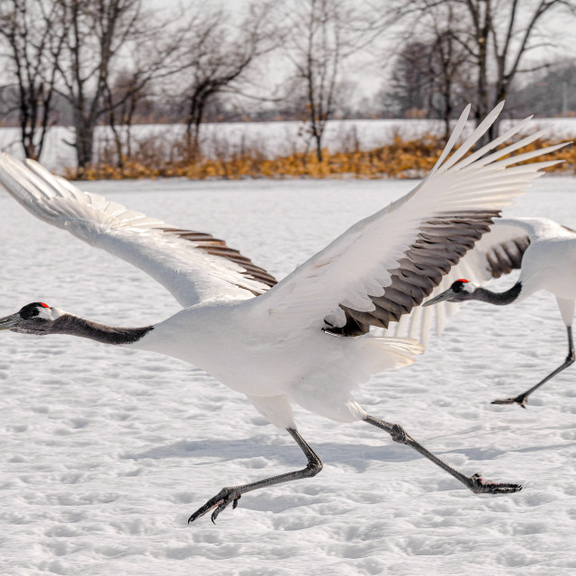 """Cranes Take Off"" stock image"