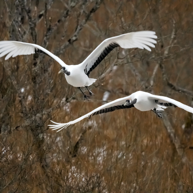 """""""Red Crowned Cranes in Flight"""" stock image"""