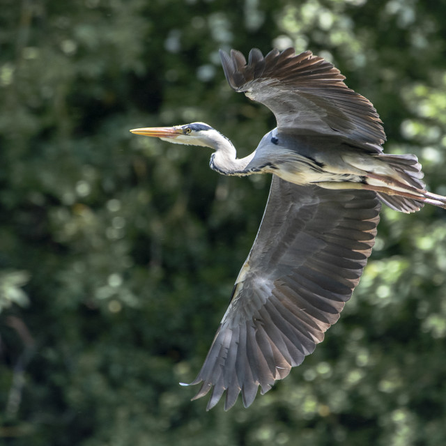 """Grey Heron In Flight (III)"" stock image"