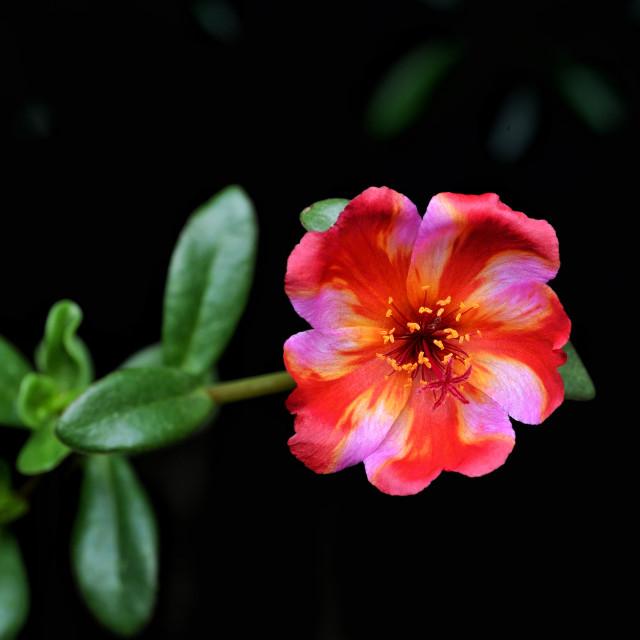 """""""Japanese Rose Flower"""" stock image"""