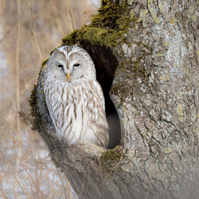 """Ural Owl 01"" stock image"