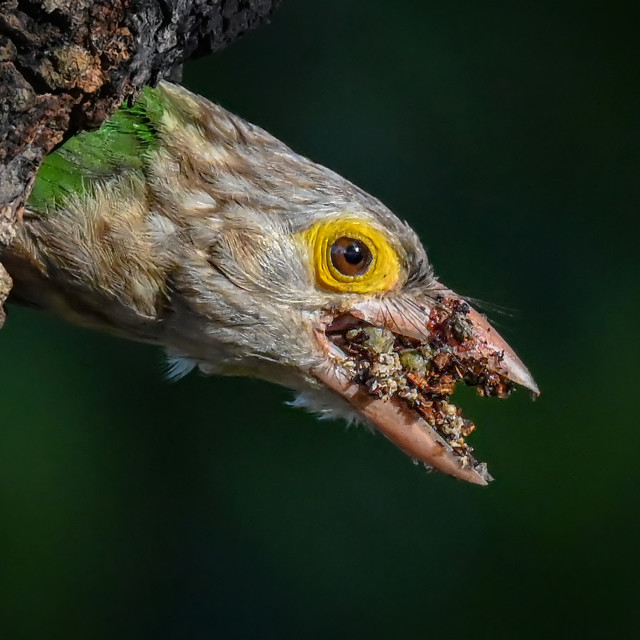 """""""Lineated Barbet 03"""" stock image"""