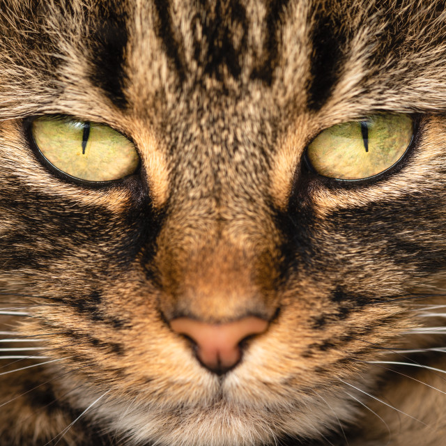 """'Watchin' You! Pickle stare off' Tabby cat face close up, yellow eyes."" stock image"