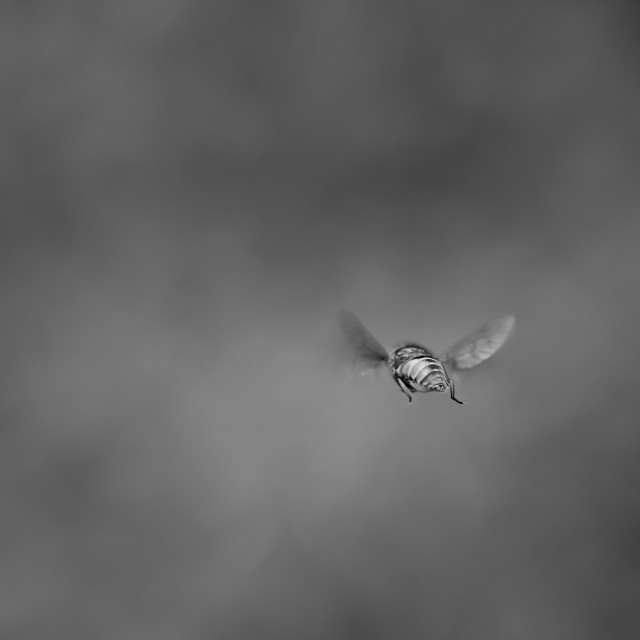 """'Apocalypse' Horse-fly hovering, rear view. Soft bg mono"" stock image"
