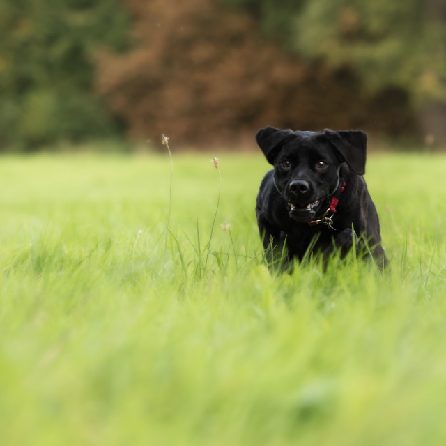 """Black Lab dog running in park iii."" stock image"
